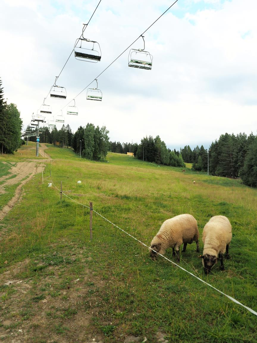 Na trasach narciarskich często wypasane są owce.