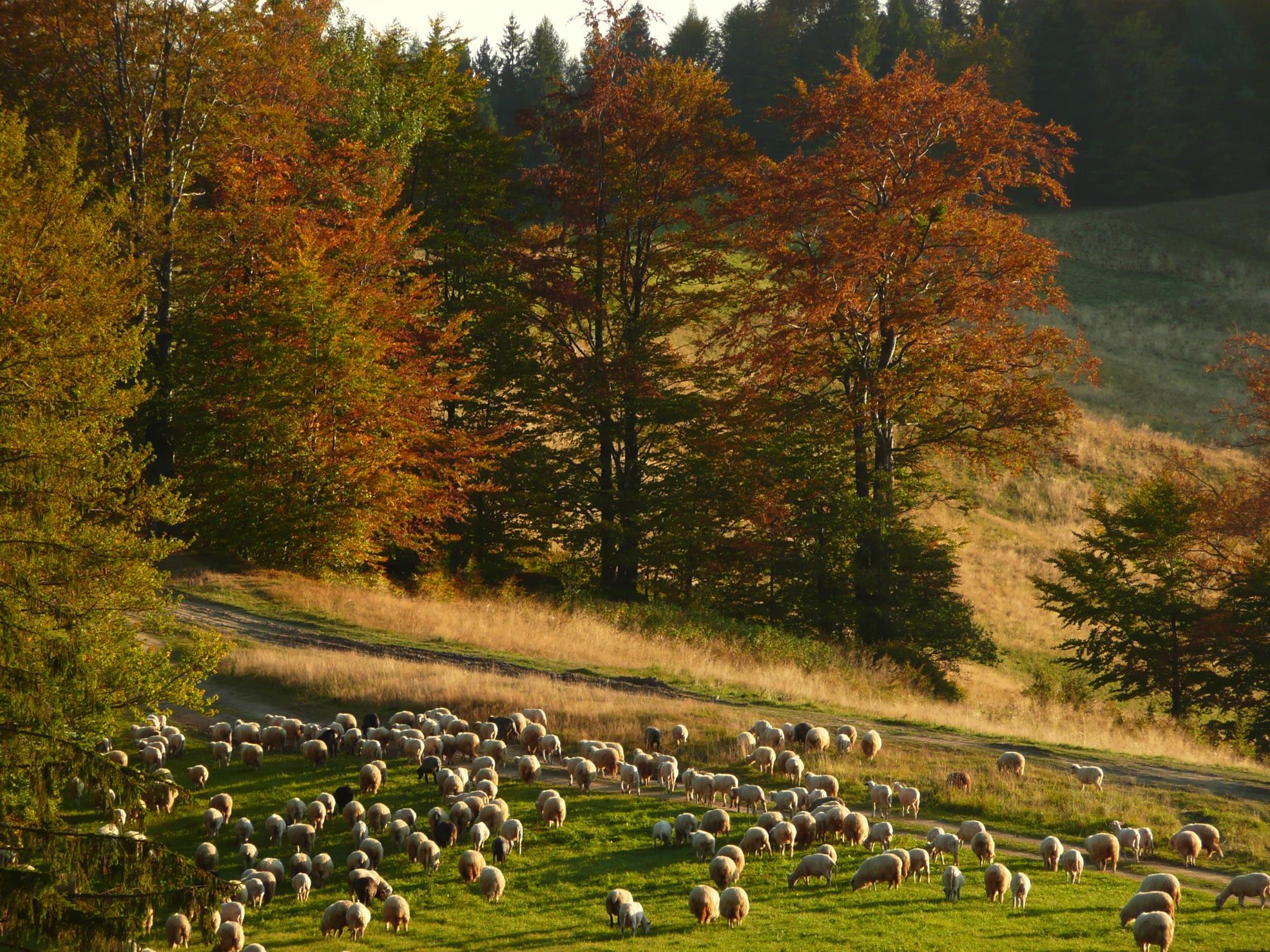 Długie Młaki nad Wierchomlą - tu pasterstwo wciąż ma się dobrze.