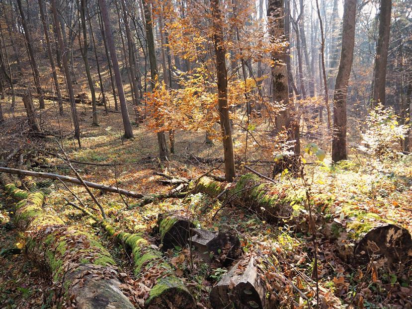 Powalone drzewa w różnych fazach rozkładu - rezerwat 'Obrożyska'.