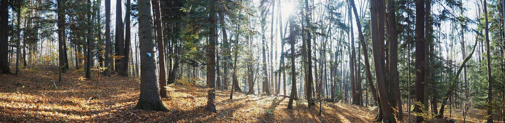 Reliktowy las świetlisty w rezerwacie 'Obożyska'.