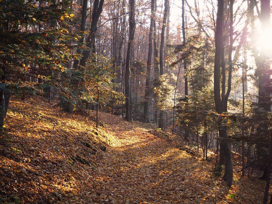 Młody las bukowo-modrzewiowy.